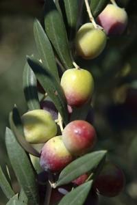 ענף זיתי שמן ארבקינה